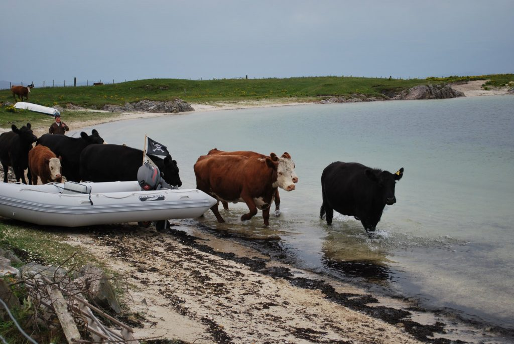 Keep an eye on your cows - if pirates are around.