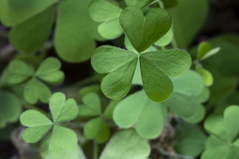 The Shamrock – a teaching tool used by St. Patrick.