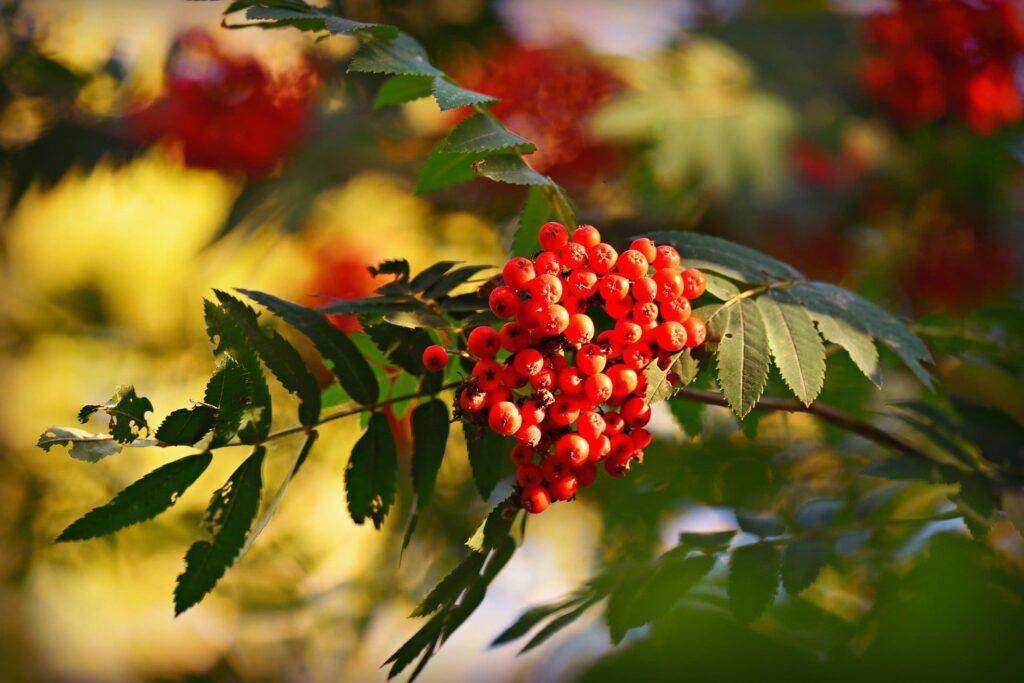 Rowan derives from the name of a native Irish tree.
