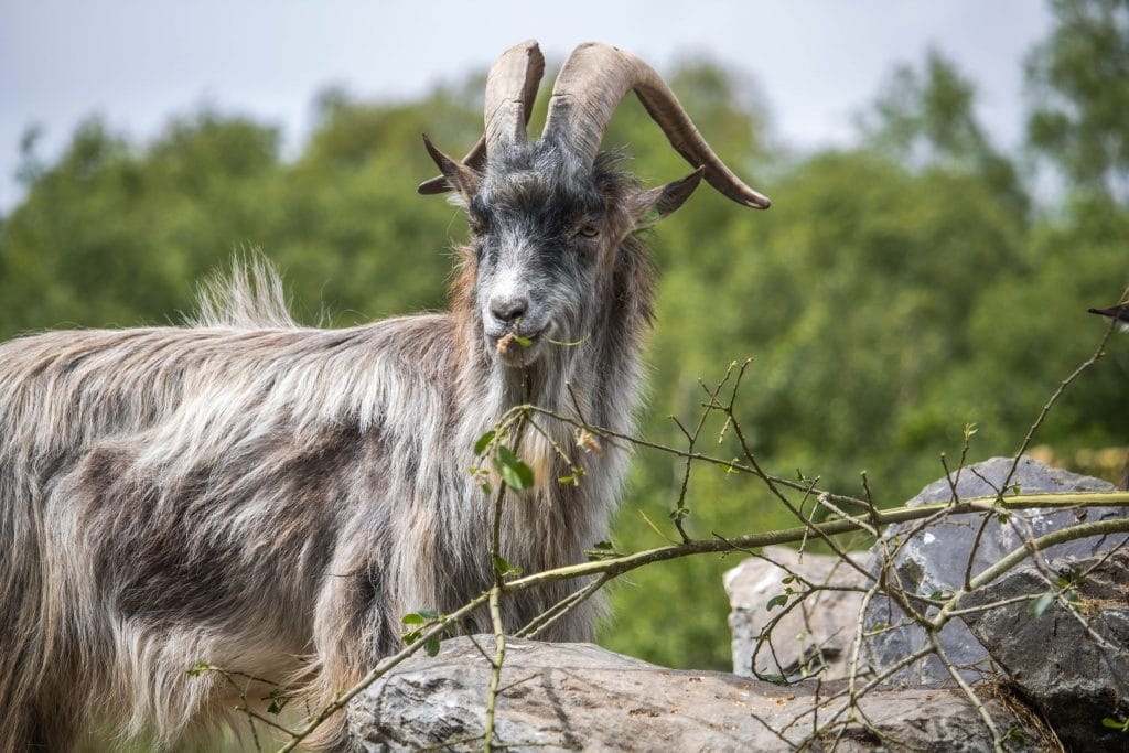 Old Irish Goats are being moved to rural Dublin in order to control the wildfires.
