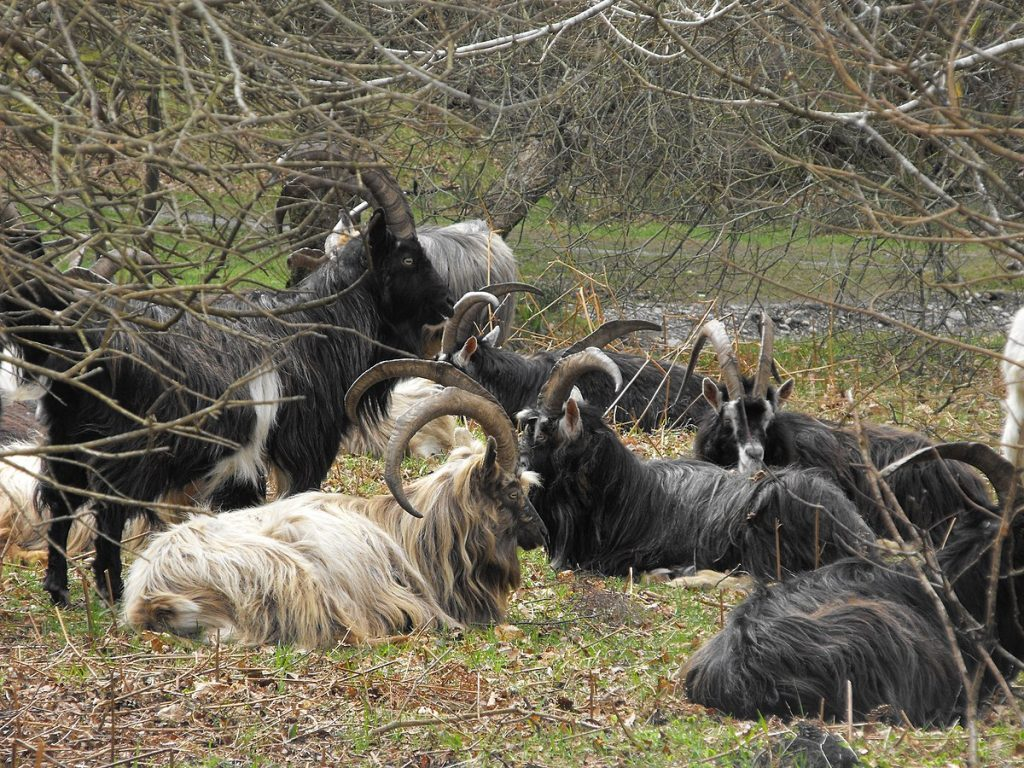 the Old Irish goats are feeding on the gorse which will control the wildfires.