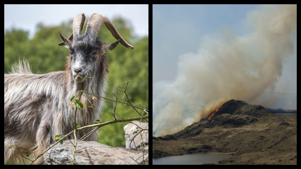 Old Irish goats are moving to Dublin to prevent wildfires.